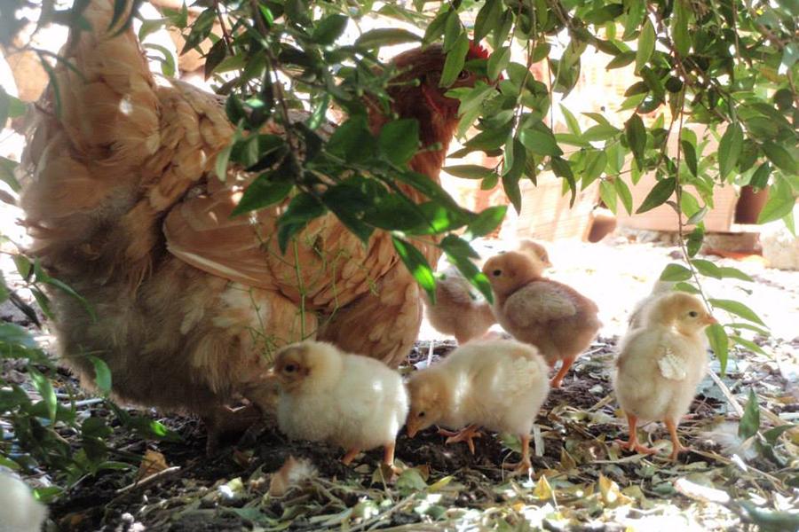 gallina uova casale vinciucci